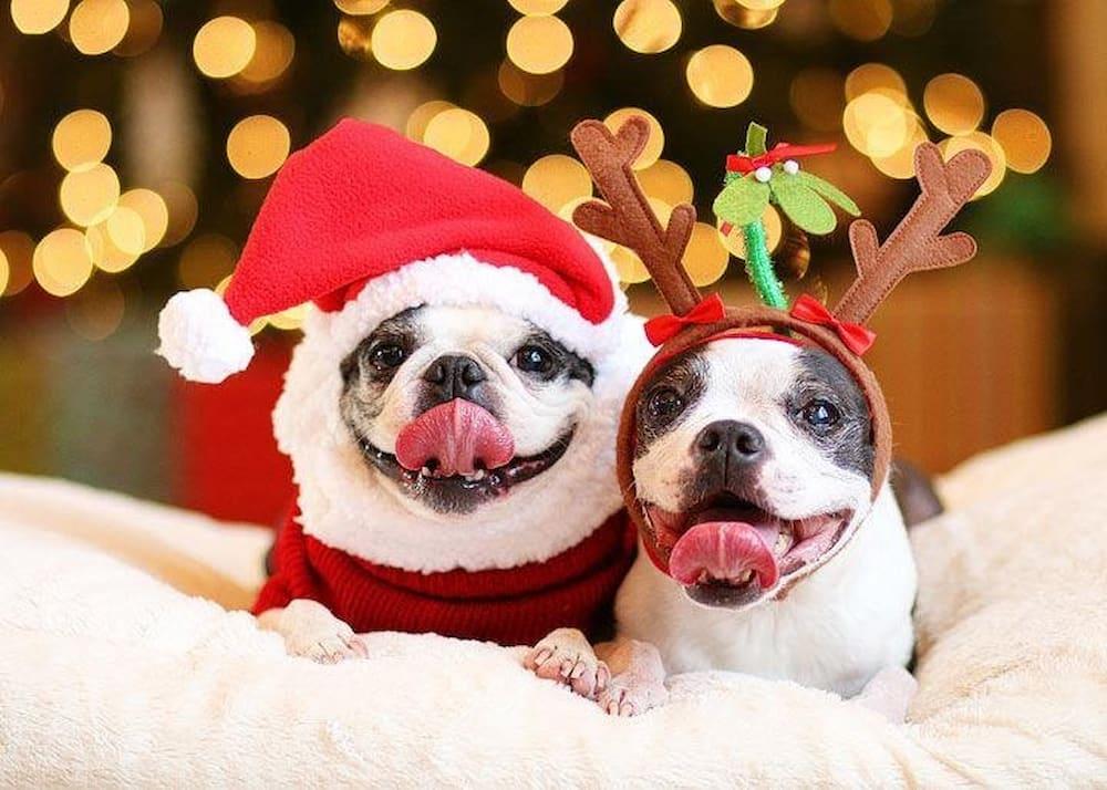 cães com roupas natalinas, papai noel e rena.